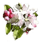 Apple blossums